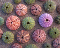 Sea urchins on wet sand Royalty Free Stock Photo