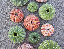 Sea urchins on wet sand beach closeup Royalty Free Stock Photography