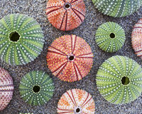 Sea urchins on wet sand beach Royalty Free Stock Image