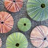 Sea urchins on wet sand beach Stock Image