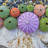 Sea urchins on white rock and pebbles beach Royalty Free Stock Photo