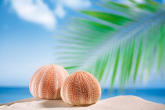 Sea urchins  on white sand beach Stock Photography