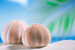 Sea urchins  on white sand beach Stock Photo