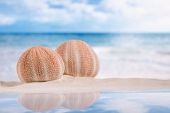 Sea urchins  on white sand beach Stock Image