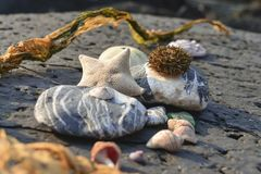 Still life outdoors: starfish, sea urchin, stones, seaweed, seas stock photography