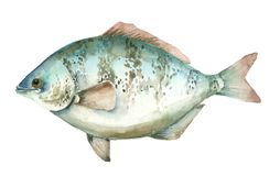 Sea watercolor fish. Hand drawn watercolor sea fish on white background. Realistic watercolor fish vector illustration