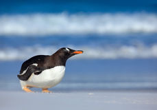 Sea wave with bird. Gentoo penguin with dark blue sea, Falkland Islands. Wildlife scene from wild nature. White beach with wave an Royalty Free Stock Images