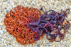Free Sea Weed 1 Stock Images - 67849464