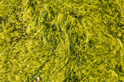 Sea weed. Green sea weed textured background Stock Photos