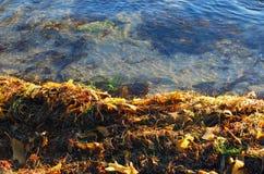 Sea weed on beach shore line in Laguna Beach, California. Stock Photo