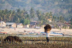 Sea Weed Farm Work 3, Lembongan, Indonesia. Harvesting sea weed, Lembongan, bali, Indonesia royalty free stock image