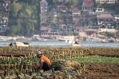 Sea Weed Farm Work, Lembongan, Indonesia. Sea Weed Farm Work with luxury resort back ground, Lembongan, bali, Indonesia stock photos