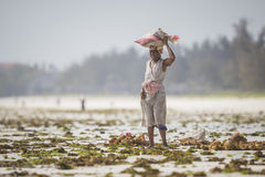 Sea weed harvest at risk due to water temperature rising Royalty Free Stock Photo