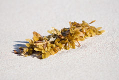 Sea weed kelp on sand. Sea kelp washed away on sandy beach stock photography
