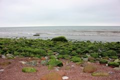 Sea Weed on Rocks at The Ness Beach, Shaldon, Devon, UK Stock Photo