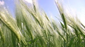 Sea wheat Stock Images