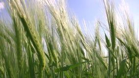 Sea wheat stock footage