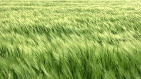 Sea wheat with wind Stock Images