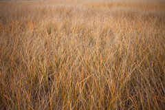 Sea Wheat during a Windy Autumn Day Royalty Free Stock Photos