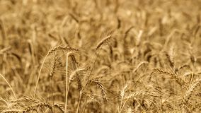Sea of whet crops all around. A beautiful closeup of a golden sea of wheat Stock Photos