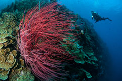 Sea whip Ellisella grandis in Gorontalo, Indonesia underwater stock photo
