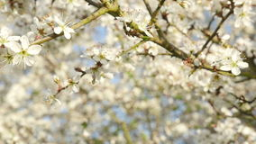 Sea of white cherry tree blossoms in flowering period. Sea of white cherry tree blossoms in the flowering period; light breeze on a sunny spring day; daylight stock footage