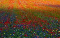 Sea of wild flowers Stock Image