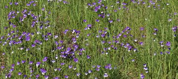 A sea of wild pansies Royalty Free Stock Image