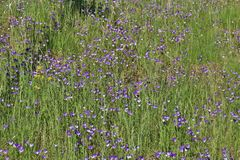 A sea of wild pansies Royalty Free Stock Photo