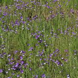 A sea of wild pansies Royalty Free Stock Photos
