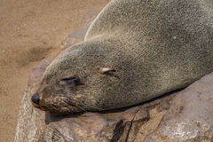Sea wolves resting in Cape cross - Namibia. Sea wolves resting in Cape cross Stock Image