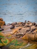 Sea wolves on the rocks in Cabo Polonio, coast of Uruguay royalty free stock image