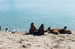 Sea wolves under the sun Royalty Free Stock Photography