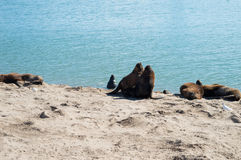 Sea wolves under the sun. Resting at the beach Stock Photos