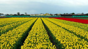 Sea of Wonderful Yellow Tulips stock video footage