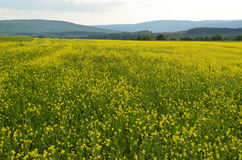 A sea of yellow flowers in alfalfa field on the hills of upstate New York Royalty Free Stock Photo