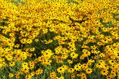 A Sea of Yellow Flowers. This sumptuous field of flowers was discovered by my camera lens in the heart of downtown Chicago this summer.   What a happy looking Royalty Free Stock Images