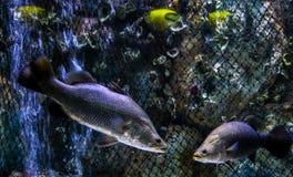 Seabass στο ενυδρείο Στοκ Εικόνες