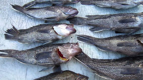 Seabass Catch at the End of the Day stock video footage