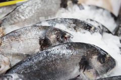 Seabass on cooled display Stock Image