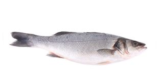 Seabass, Dicentrarchus labrax. Royalty Free Stock Photo