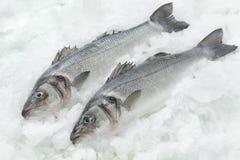 Seabasses on ice Stock Image