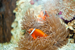 Seabed animals clown fish Royalty Free Stock Image