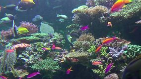 Colored Corals and a lot of Fishes. Seabed with colored corals. A lot of colorful fishes in water stock video footage