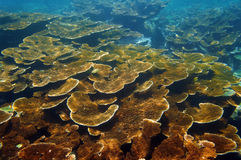 Seabed with healthy Elkhorn coral reef. Colony, Caribbean sea, Bay islands, Roatan, Honduras Royalty Free Stock Image