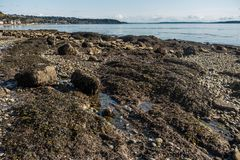 Seabed Revealed. A rocky seabed is revealed at low tide in West Seattle, Washington Stock Photo
