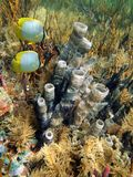 Seabed with tube sponge and butterfly fish Stock Images