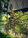 Seaberry στον κήπο Στοκ φωτογραφίες με δικαίωμα ελεύθερης χρήσης