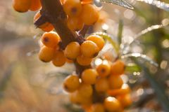 Seaberry dichte omhooggaand als achtergrond Stock Fotografie