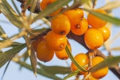 Seaberry macro dichte omhooggaand Royalty-vrije Stock Afbeeldingen